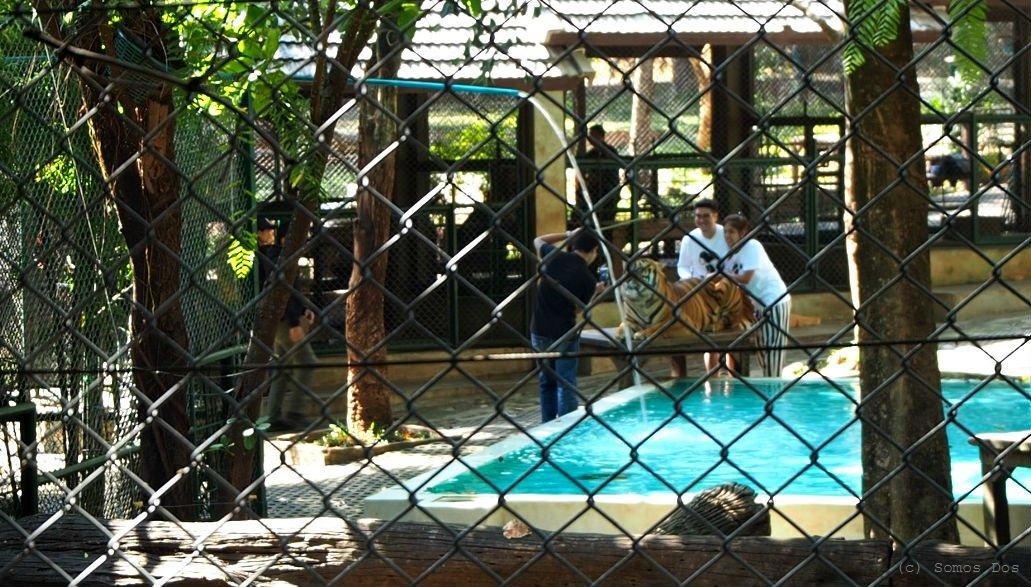 Tiger Kingdom, Thailand