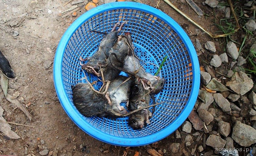 Upolowane myszy, Laos. (Jedzenie szczura)