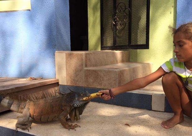 Po sześciu miesiącach oswoiłam dziką iguanę, która uwielbia banany, mango i głaskanie!  Fot.: archiwum autorki.