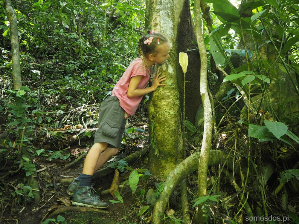 dziwidło dżungla sumatra