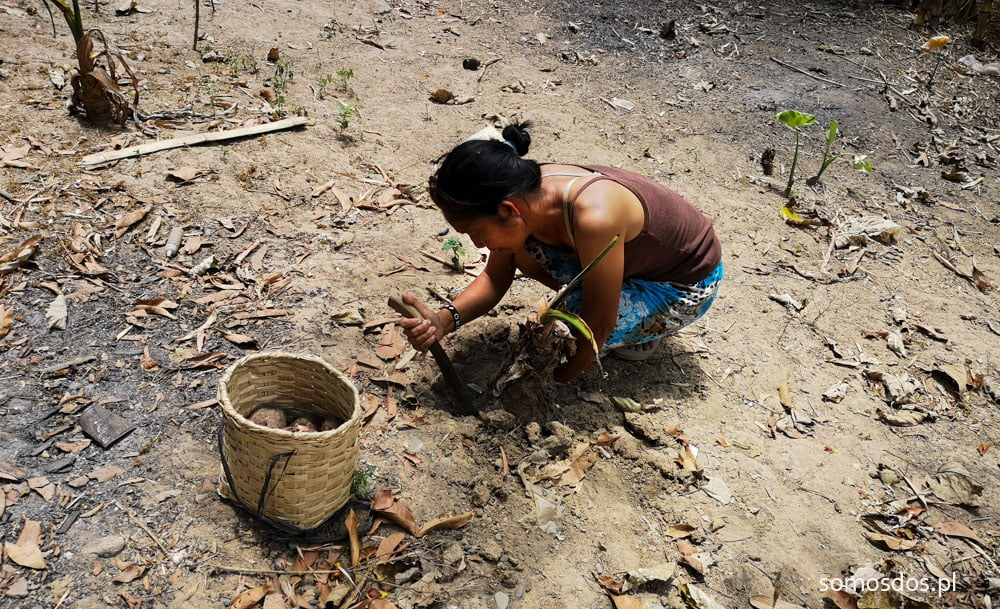 Mangyan woman getting casava