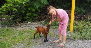gaja i koza